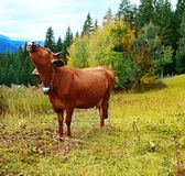 Cow in meadow Stock Images