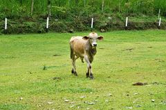 Cow on a meadow near Perez Zeledon. Costa Rica royalty free stock photography