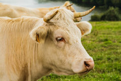 Cow in the meadow. In Normandy Stock Photos
