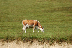Cow at meadow Stock Images