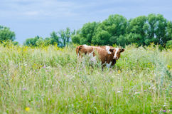 Cow on a meadow pasture Royalty Free Stock Images