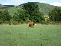 Cow in a meadow Stock Photography