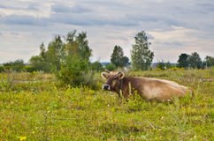 Cow in the meadow. Royalty Free Stock Images
