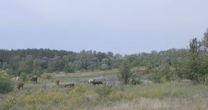 Cow on a meadow by the river. Pets are grazed on a meadow near the river. Visible thick forest stock footage