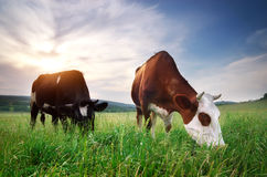 Cow in meadow Royalty Free Stock Photos