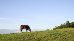 Cow in meadow. A single cow in a farm meadow in Vermont Royalty Free Stock Photography
