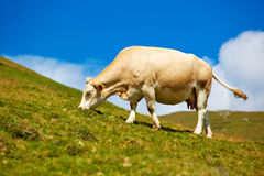 Cow on meadow Royalty Free Stock Image