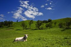 Cow and meadow small. Cow lying on green grass in sunny meadow under blue sky Stock Photo