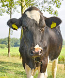 Cow in a meadow Royalty Free Stock Image