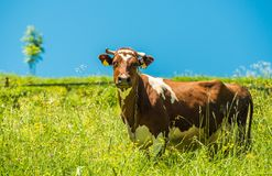 Cow and the Meadow. Cow and the Summer Meadow.Dairy Cow Stands in Her Pasture. Farming Theme Stock Photo