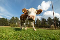 Cow on a meadow during summer royalty free stock photography