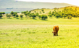 Cow on a meadow in summer Royalty Free Stock Images