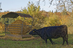 Cow on a meadow Stock Photos