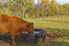 Cow on a meadow Stock Photography