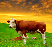 Cow in the meadow Royalty Free Stock Photos