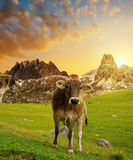 Cow in the meadow at sunset Royalty Free Stock Images