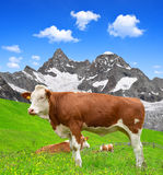 Cow on the meadow. In the Swiss Alps stock images