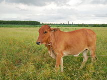 Cow in meadow. In Thailand Royalty Free Stock Image