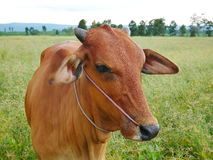 Cow in meadow. In Thailand Royalty Free Stock Photos
