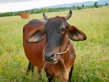 Cow in meadow. In Thailand Royalty Free Stock Photography