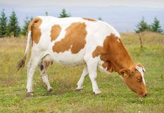 Cow in meadow Stock Photos
