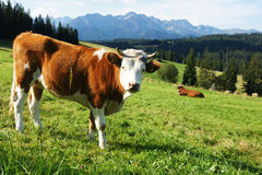 Cow on a meadows Royalty Free Stock Photos