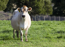 Cow standing in field looking at camera Royalty Free Stock Image