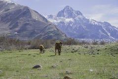Cow, Meadows of the Caucasus mountains, Georgia Stock Photos