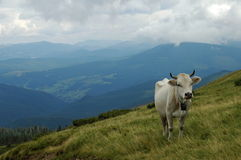 Cow with Meadows in Ukraine. Nice meadows in Ukraine cloce to Kolotschava Royalty Free Stock Photography