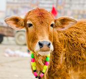 Cow in kumbh 2013 Stock Images