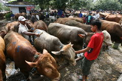 Cow. Merchants offer cattle livestock market in Sukoharjo, Central Java, Indonesia Royalty Free Stock Photo