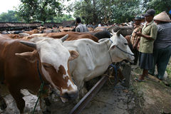 Cow. Merchants offer cattle livestock market in Sukoharjo, Central Java, Indonesia Stock Photography