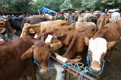 Cow. Merchants offer cattle livestock market in Sukoharjo, Central Java, Indonesia Stock Images