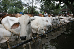 Cow. Merchants offer cattle livestock market in Sukoharjo, Central Java, Indonesia Stock Photos