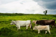 Cow migration. Trough green fields royalty free stock photography