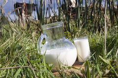 Cow milk. Milk in a green meadow with cows royalty free stock photo