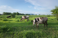 Cow milk at pasture field. Green color thailand Royalty Free Stock Photo