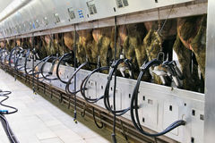 Cow milking automatic system. Stock Photo