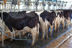 Cow milking facility Stock Photos