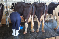 Cow milking facility Stock Image