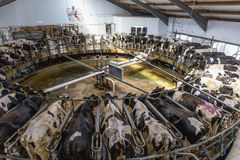 Cow milking facility on dairy farm Royalty Free Stock Photos