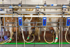 Cow milking facility in a farm. Cow milking facility in a modern farm stock photos