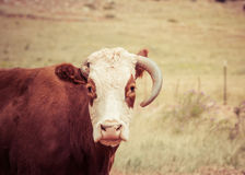 Cow Missing One Horn in Rural America Stock Photo