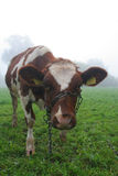 Cow in mist Royalty Free Stock Images