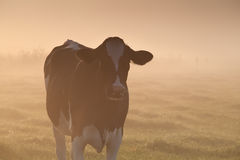 Cow on misty pasture at sunrise Stock Photos