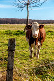 Cow montbéliarde in one fields Royalty Free Stock Photos
