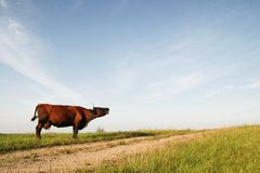 Cow moo. Ing in a green field by the country road, Latvia, Europe Stock Photos