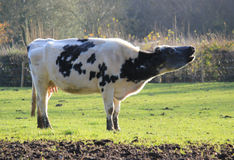 Cow mooing Royalty Free Stock Images
