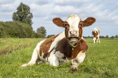 Free Cow Mooing With Mouth Open, Red And White In A Pasture Lying Lazy Chewing, Stretching A Leg With Hoof Stock Photos - 219001393