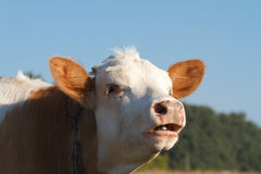 Cow moos Stock Images